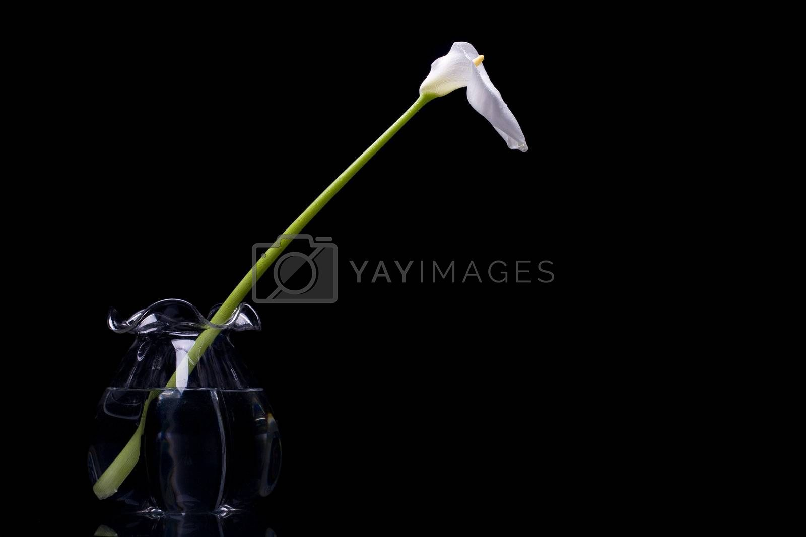 A white calla on a glass jar with water isolated on black background