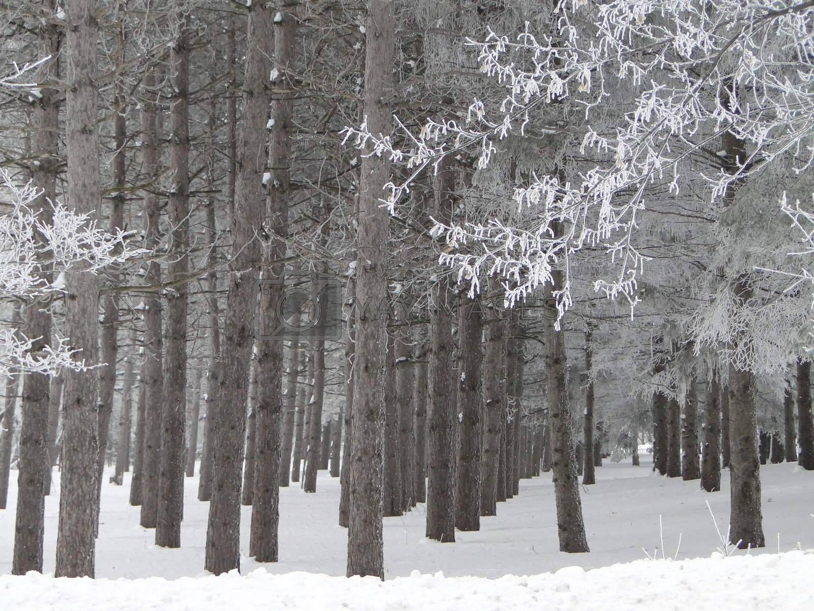 Royalty free image of Crystal Winter Pine Forest by ewilliamsdesign