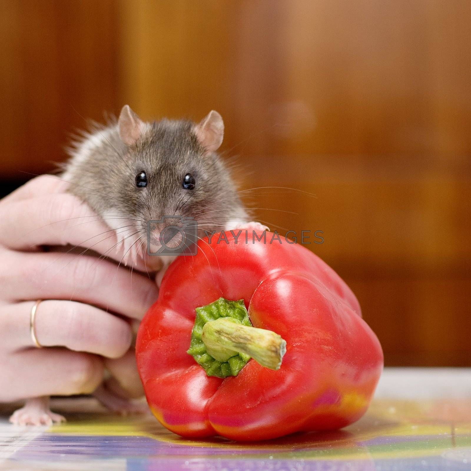 Portrait of a rat with pepper