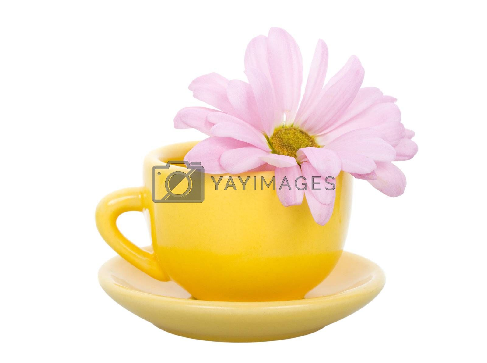 close-up yellow cup with saucer and pink chrysanthemum flower, isolated on white
