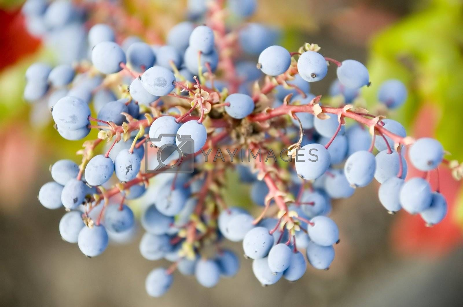 Blue berries on an ornamental plant with red stems and green leaves.
