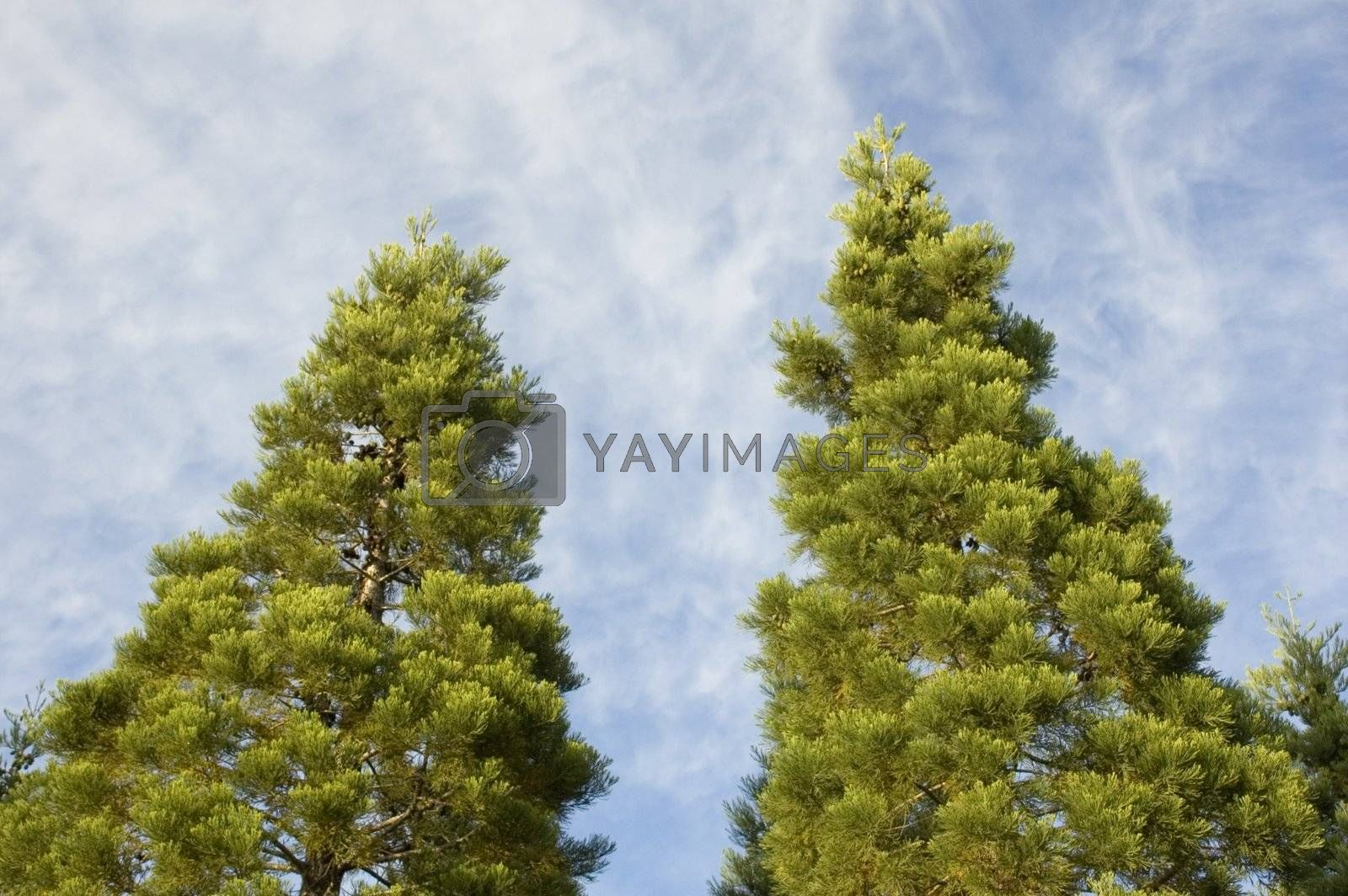 Two pine trees with blue sky and wispy clouds behind them.