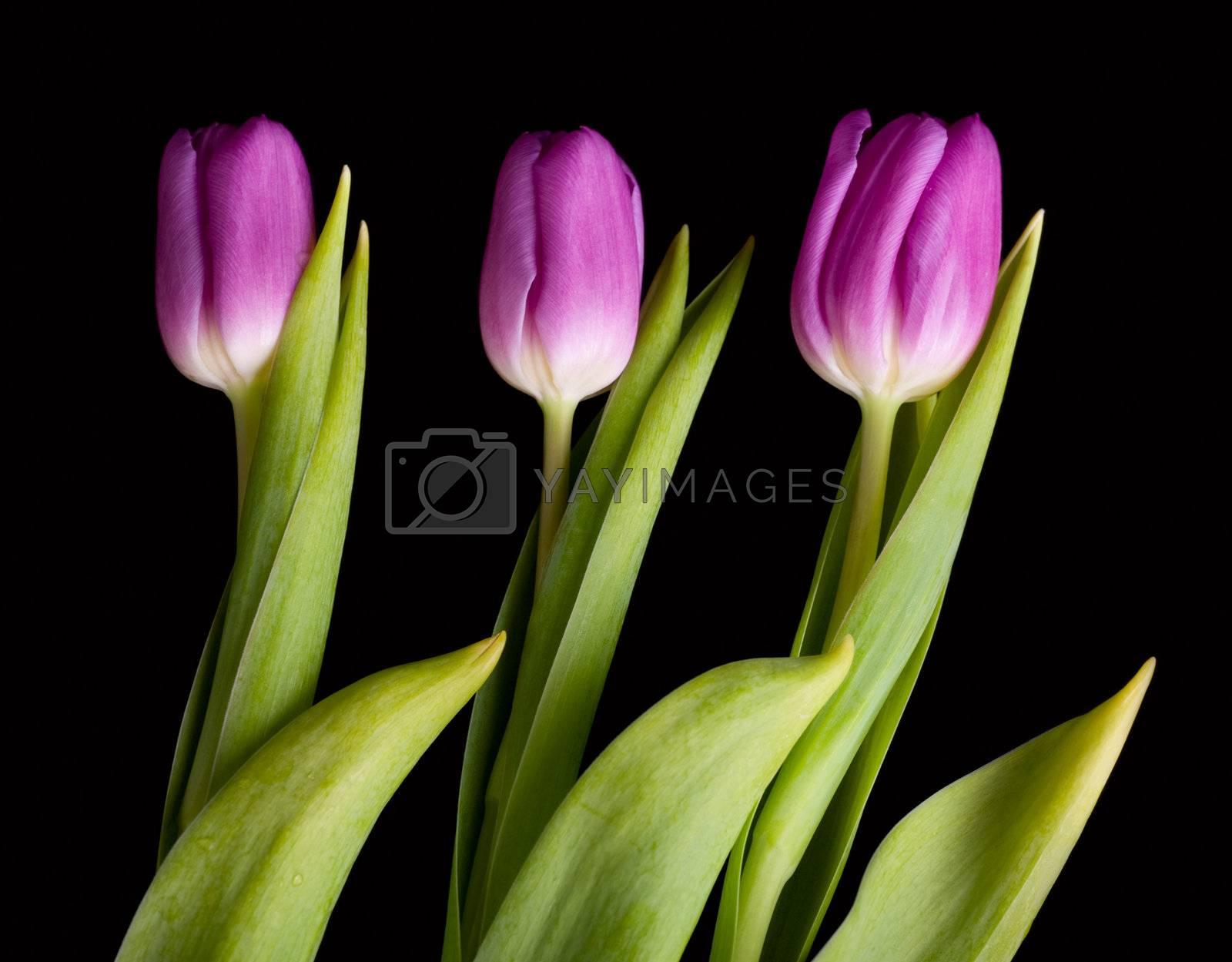 Tulip bouquet over black background