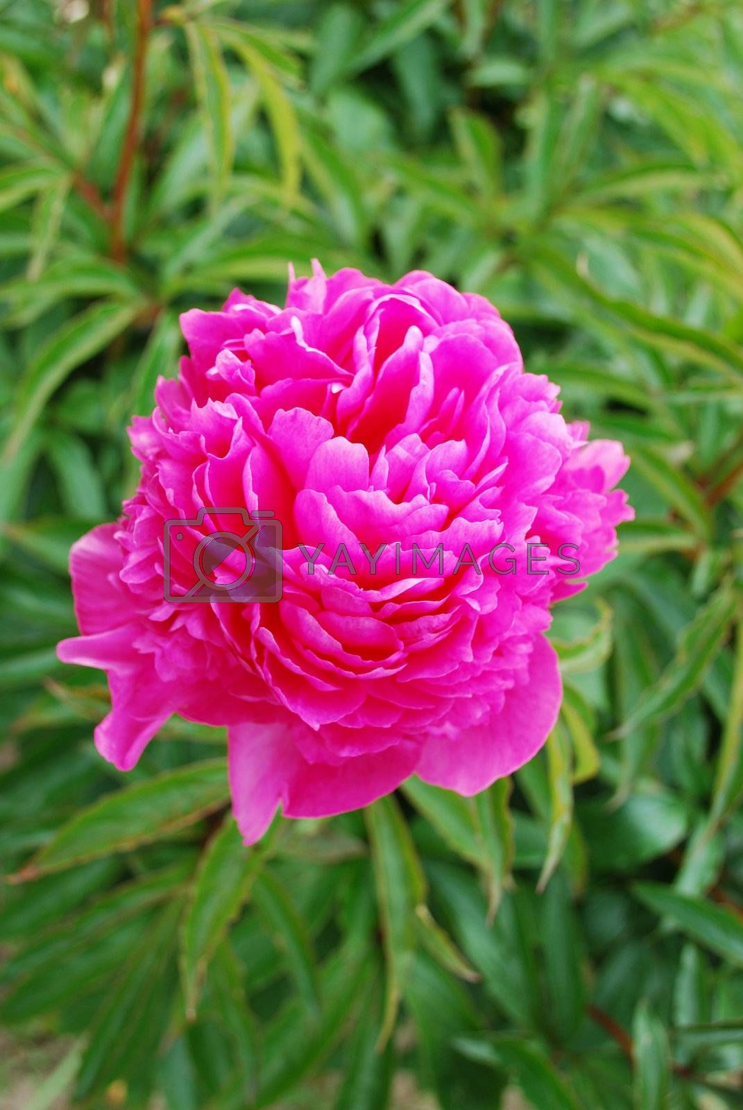 Pink peony with green background