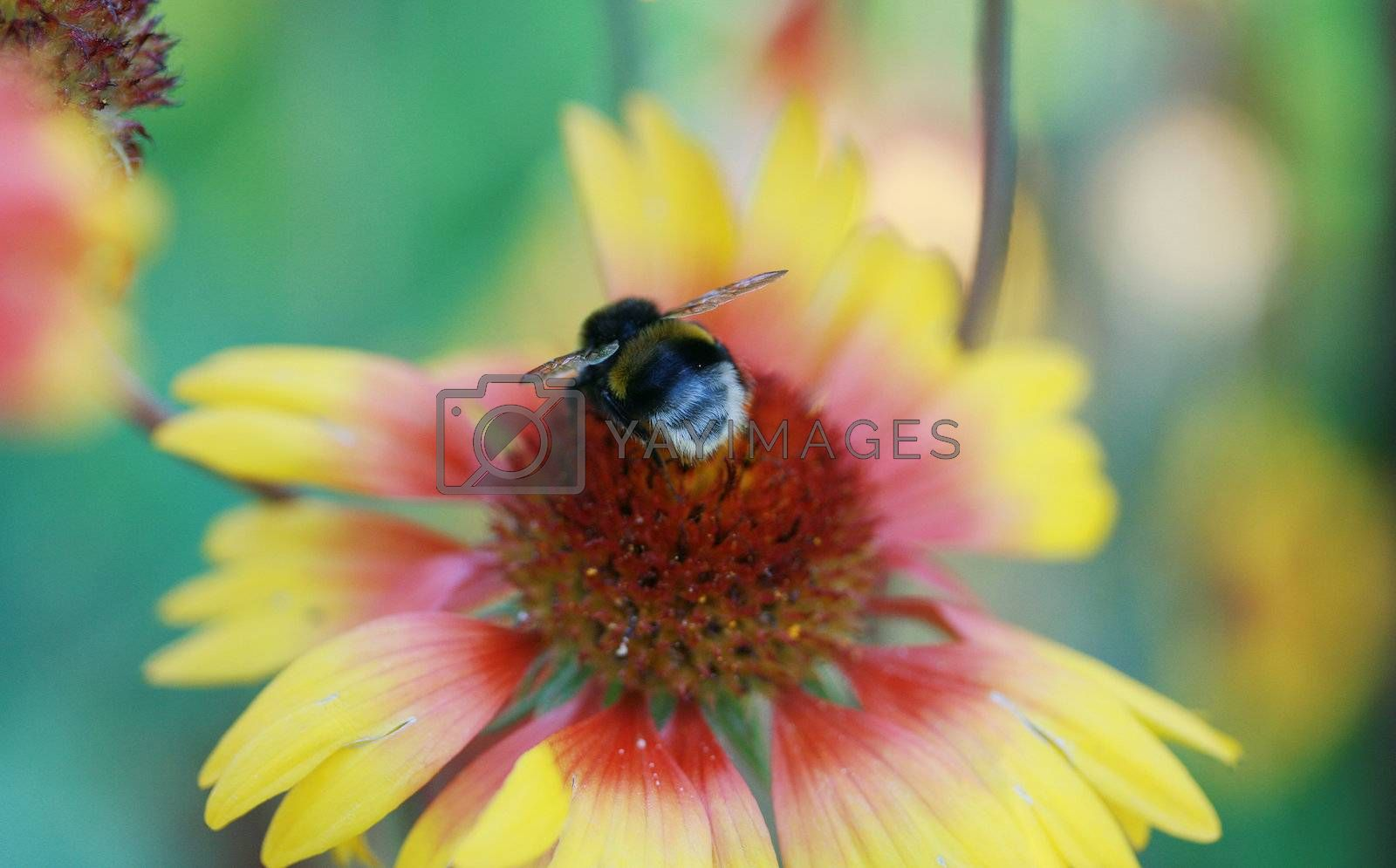 The bee pollinates the big beautiful flower