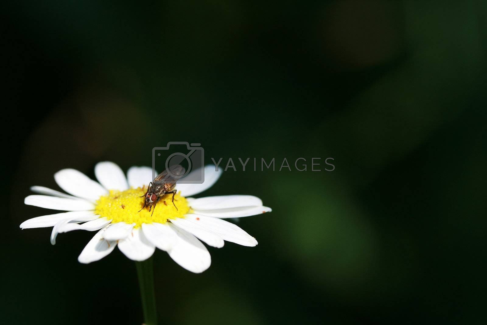 The fly sits on a camomile shined by light