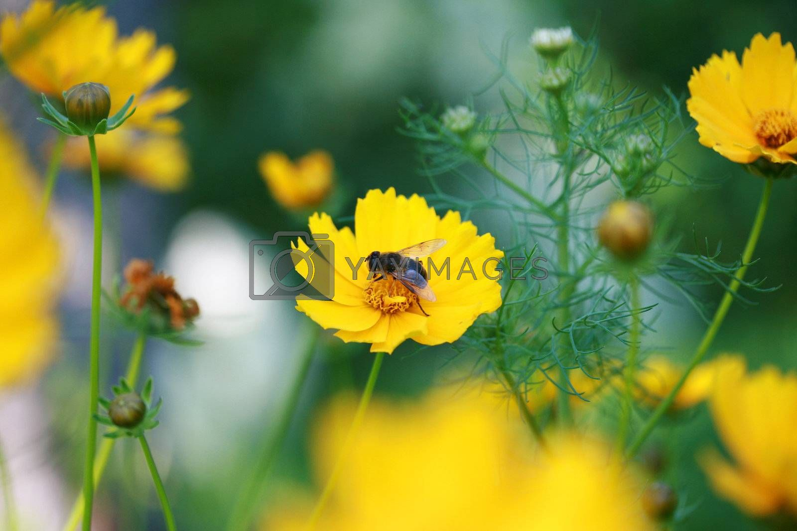 The bee sits in the center of a yellow flower