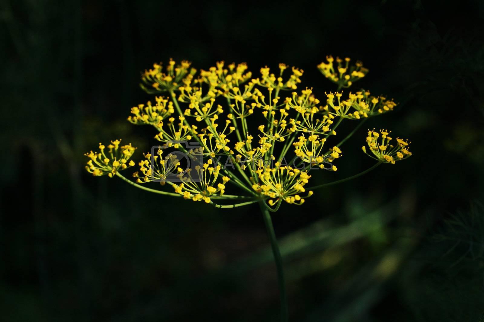 Flower of fennel shone on the dark dim background