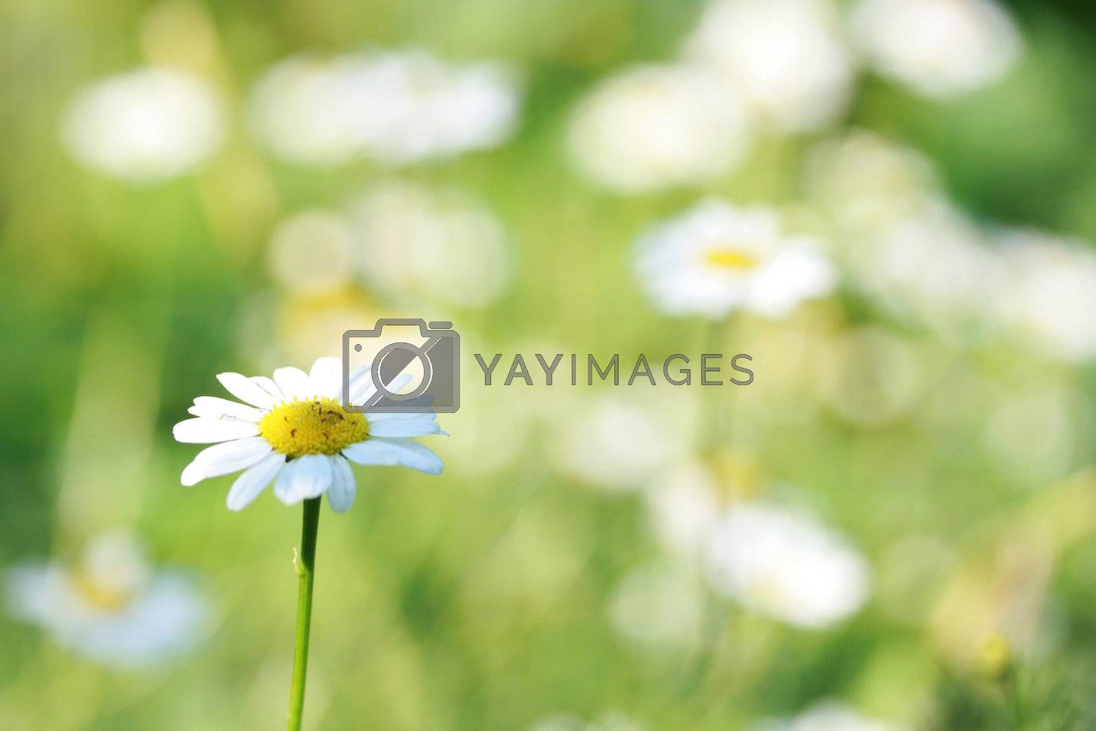 Flower of a camomile in the afternoon on the dim background