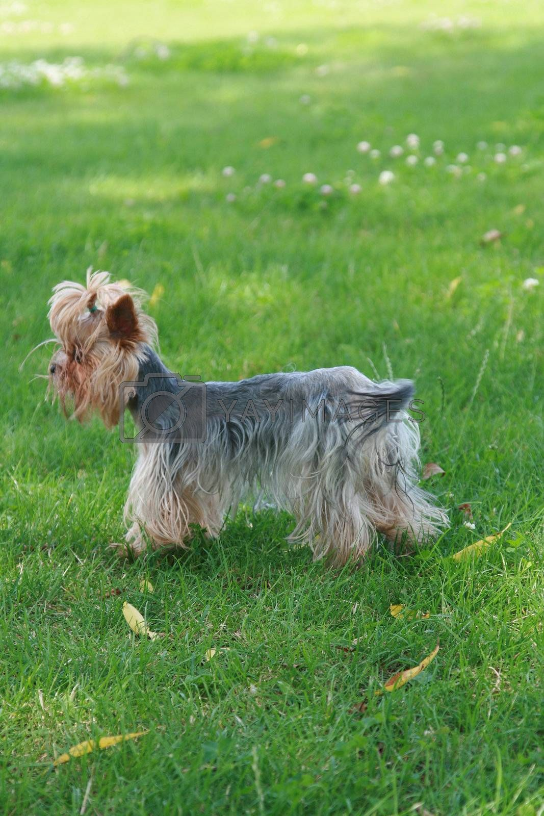 The small terrier costs on a green lawn
