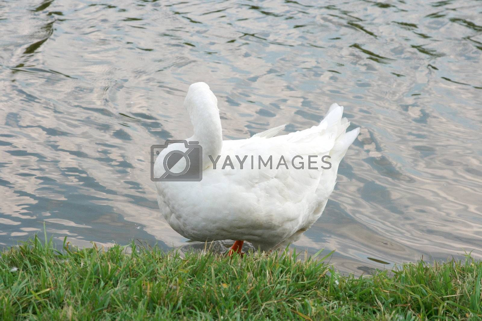 The white goose costs on coast of the river