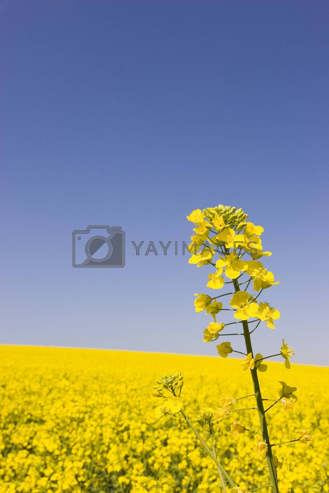 Yellow blossom of canola in front of a field of canola against blue sky