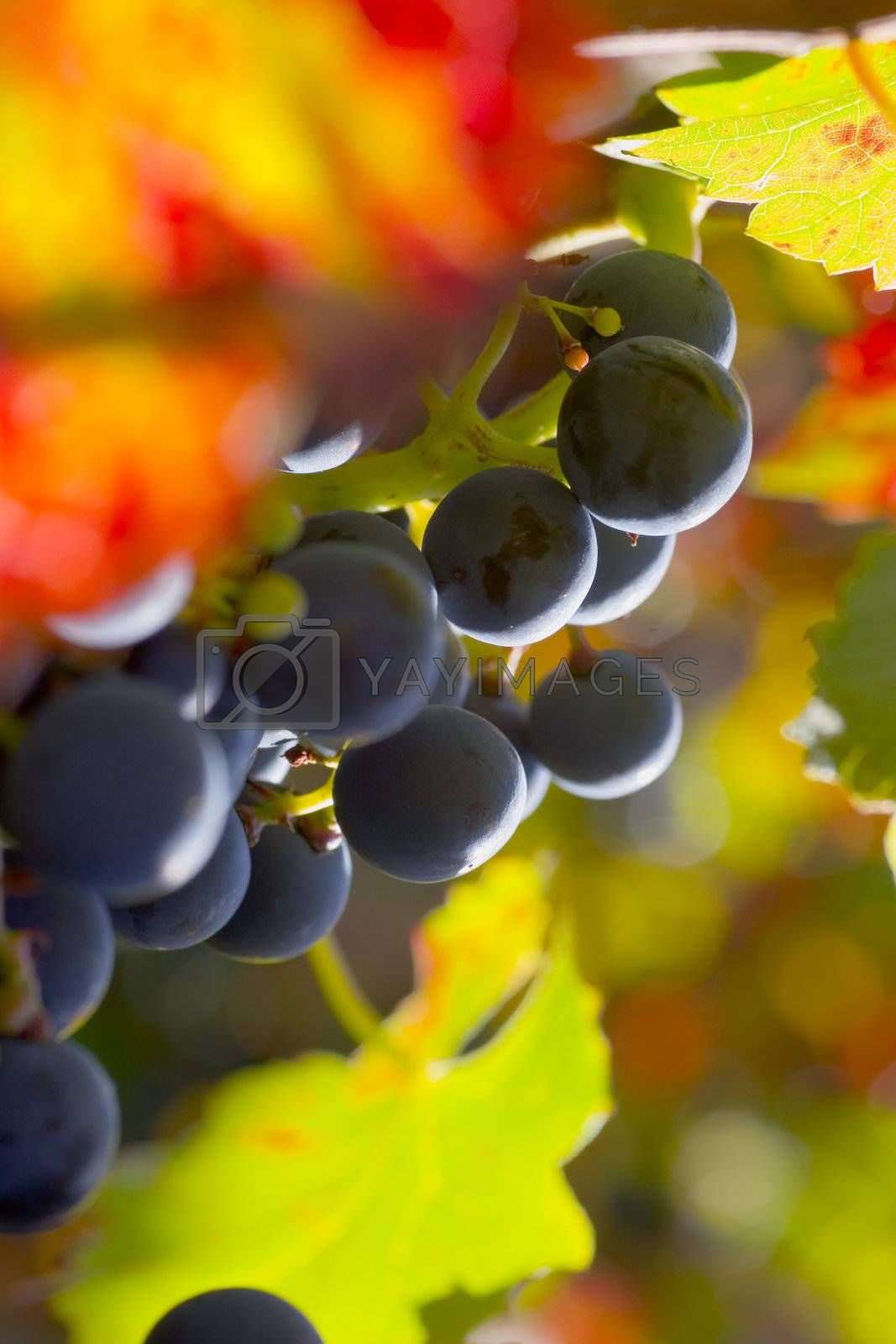 Grapes of red wine with colorful leaves in fall