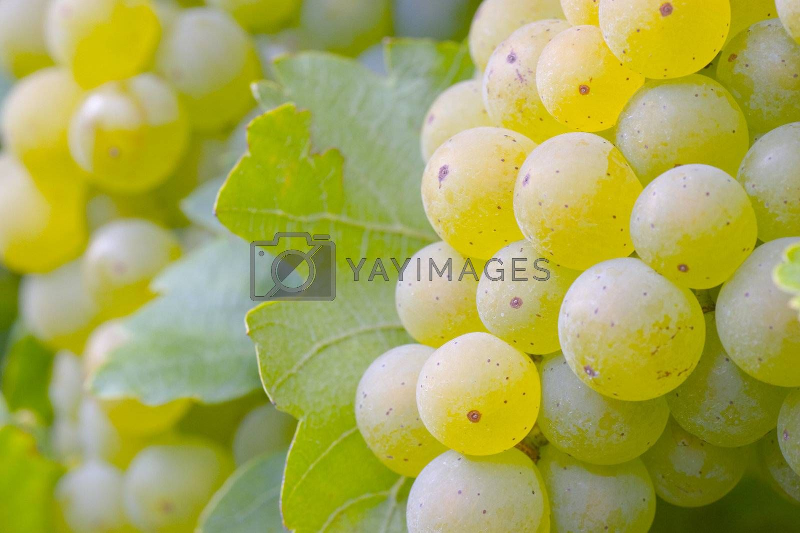 White grapes on the vine. Focus on the grapes in the foreground