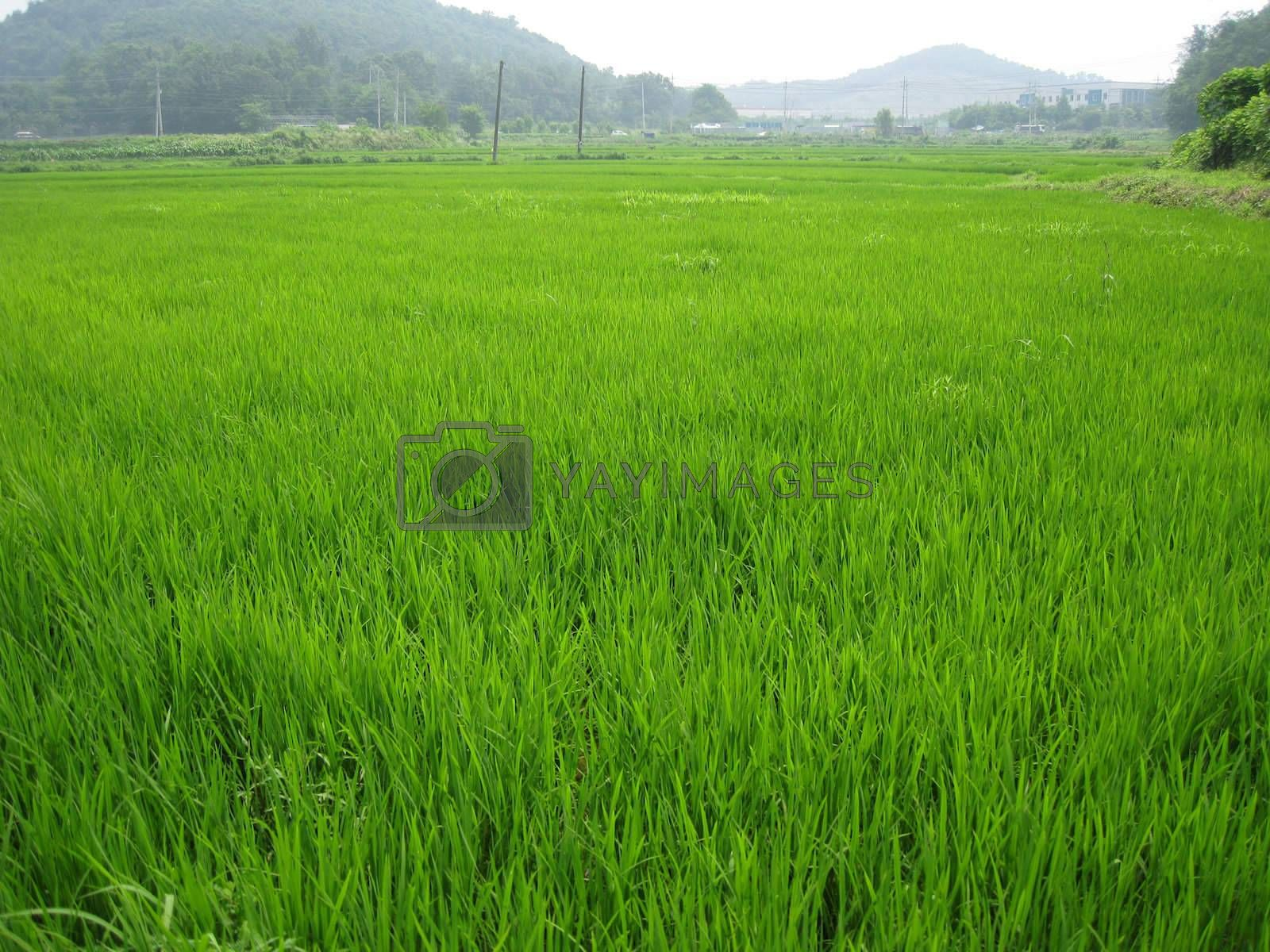 a rice field in seoul, korea