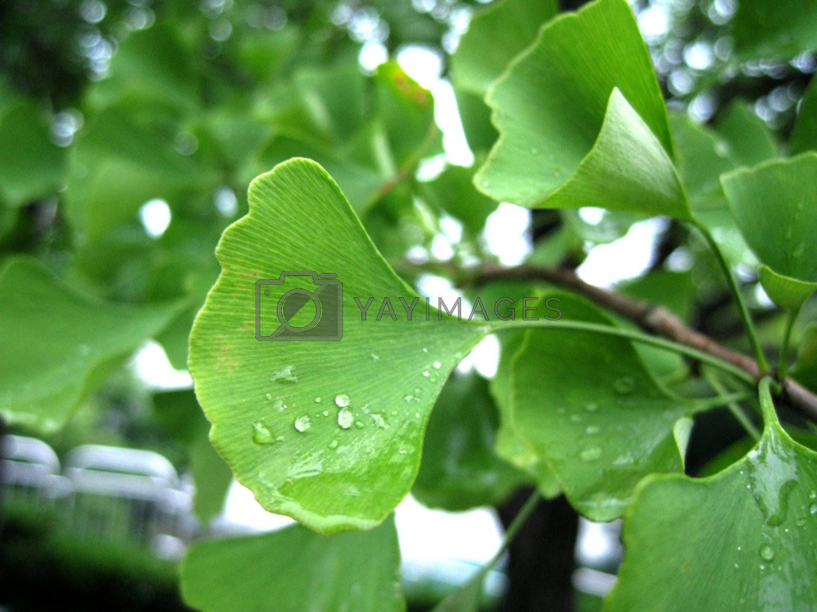 a morning view for gingko leaves with water drop