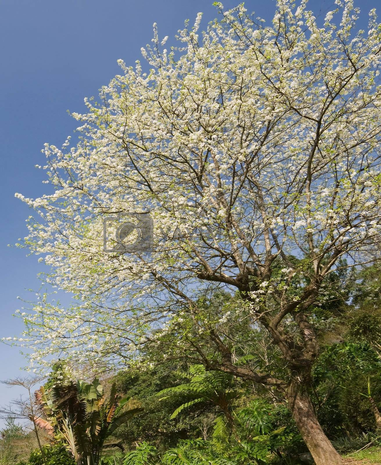 White flowers in tree of hawthorn against blue sky.