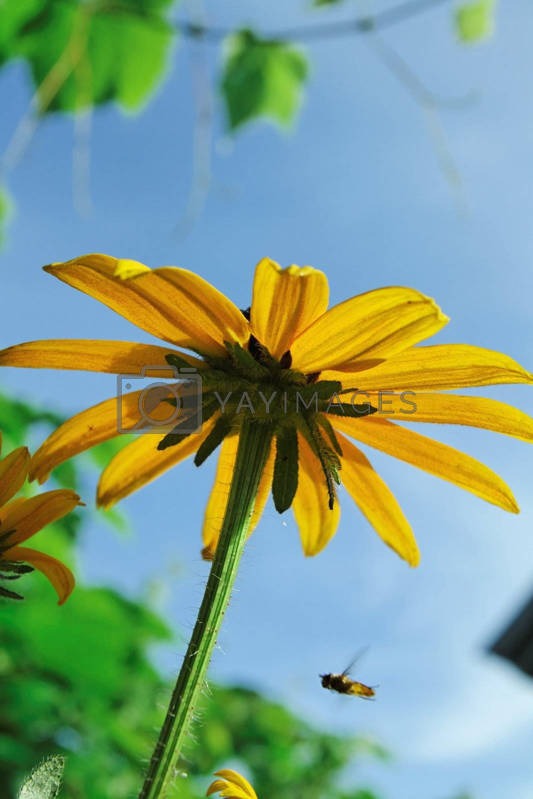 Bright shot of daisy flower from below