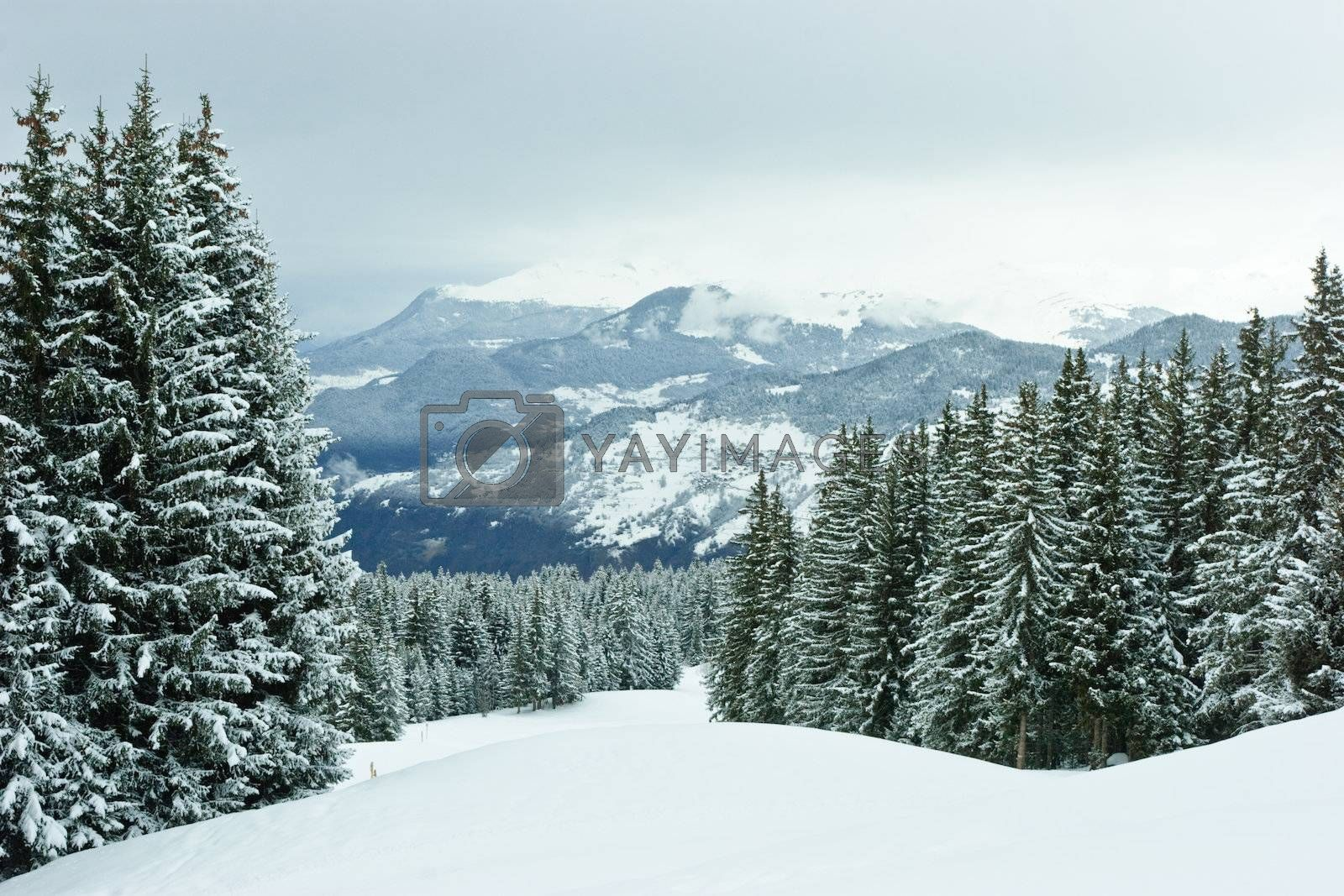 Fir trees covered with snow on a winter mountain