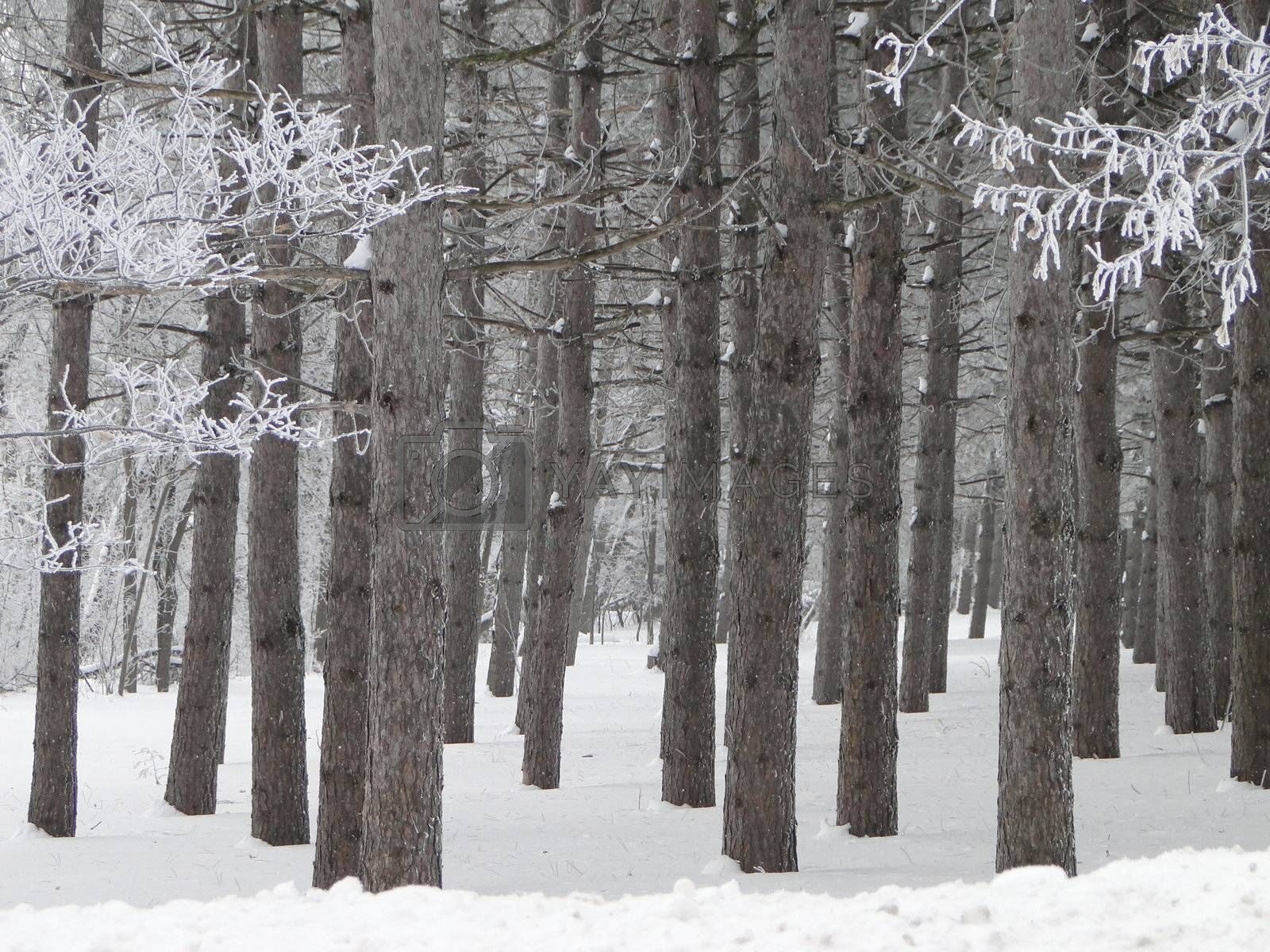Icy crystal morning in beautiful pine tree forest