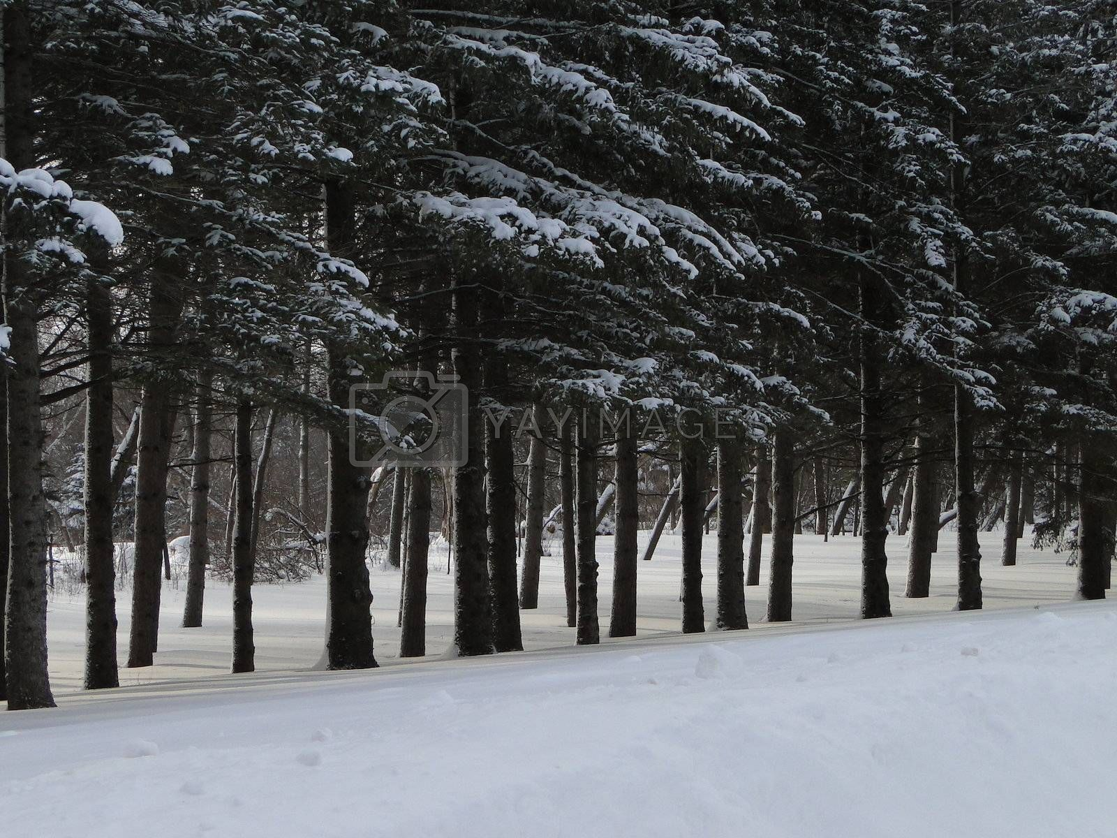 Pine forest on snowy day