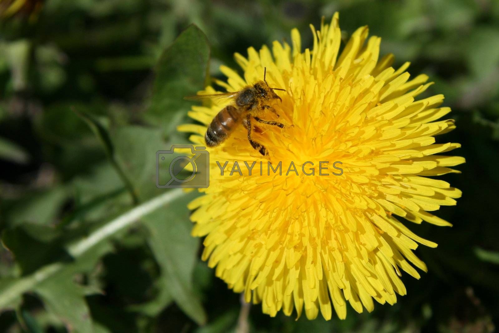 A bee on a dandelion. Spring at Lithuania