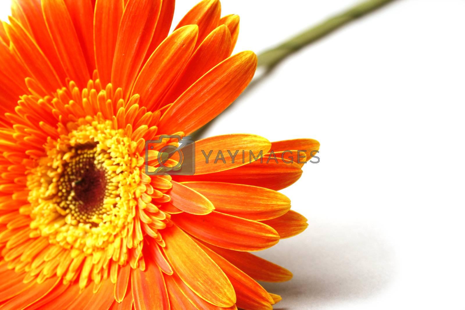 Orange flower on a background