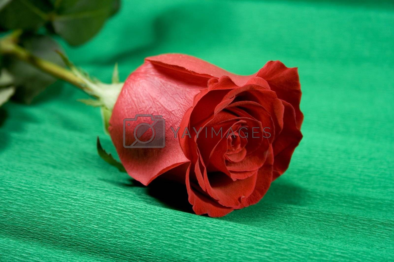 red rose over green background