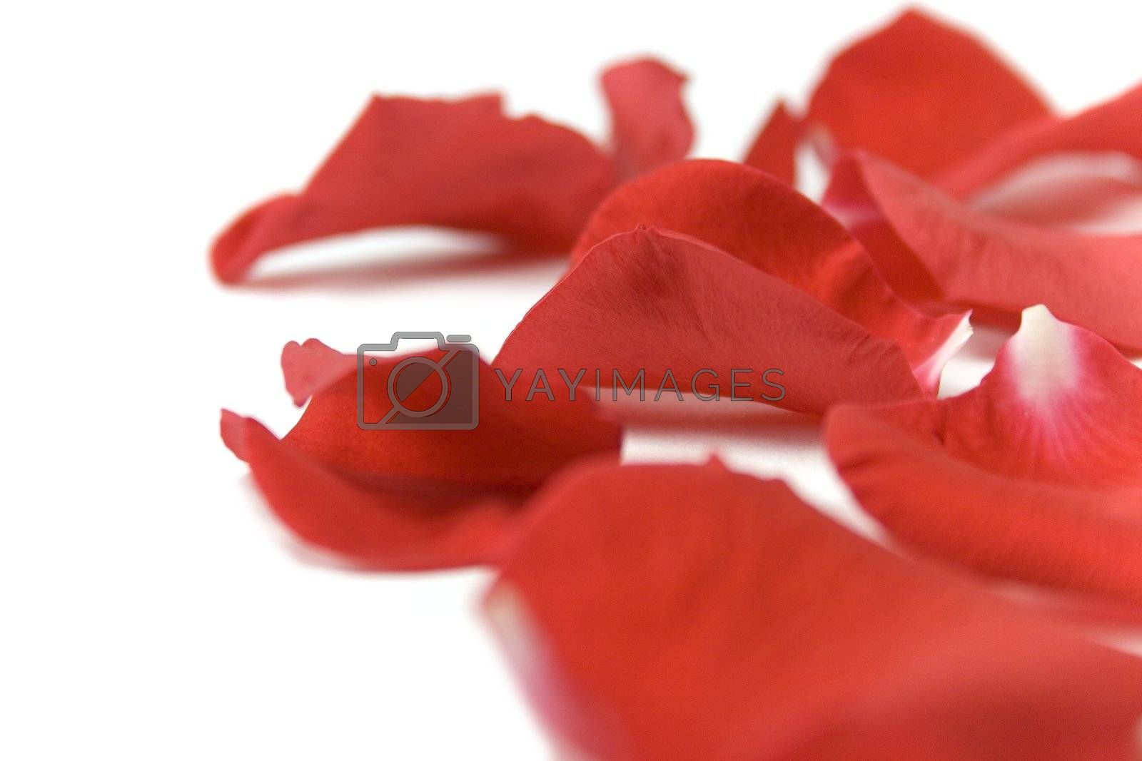 red petals over white background