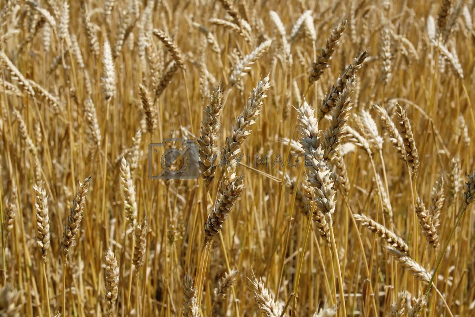 Riped wheat background