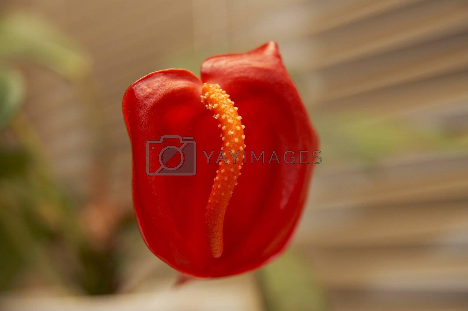 Close up red anthurium shot on blured bacground
