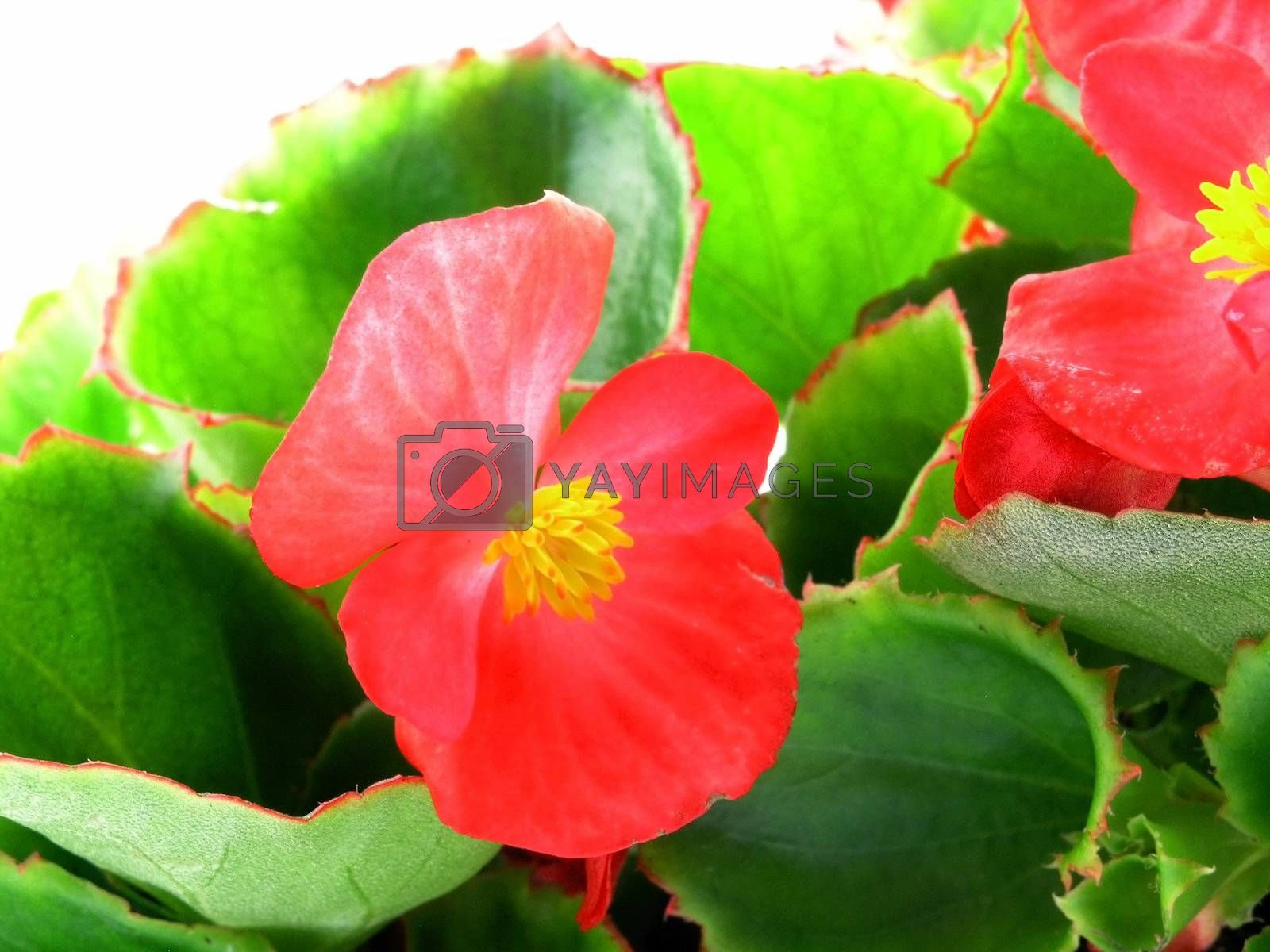 flower of a begonia isolated on a white background