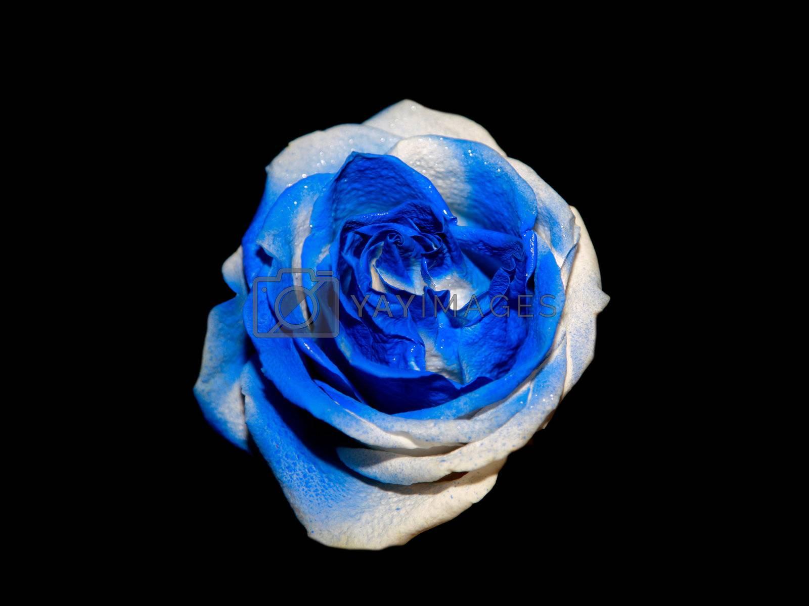 Unusial blue rose