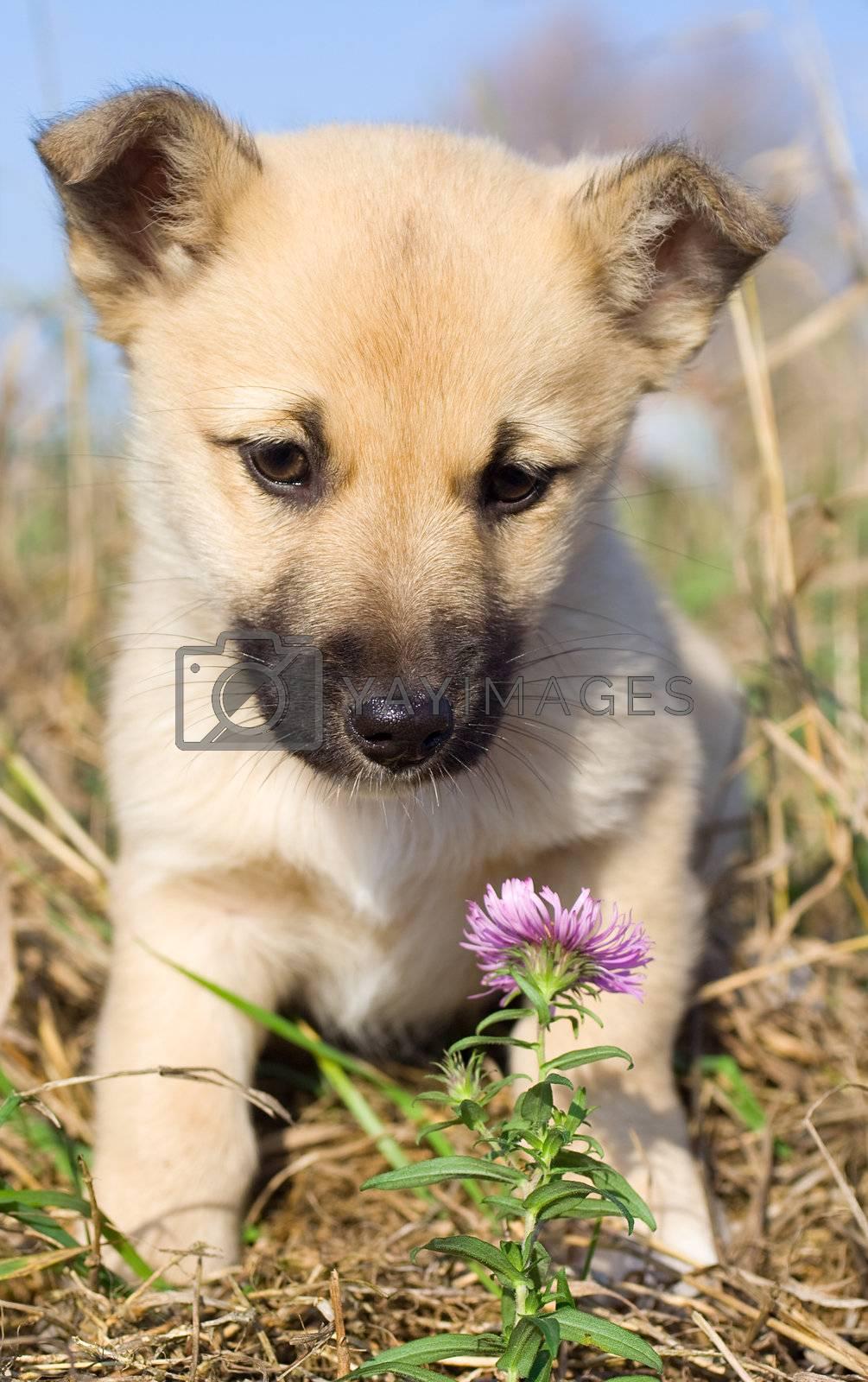 puppy smelling pink flower by Alekcey