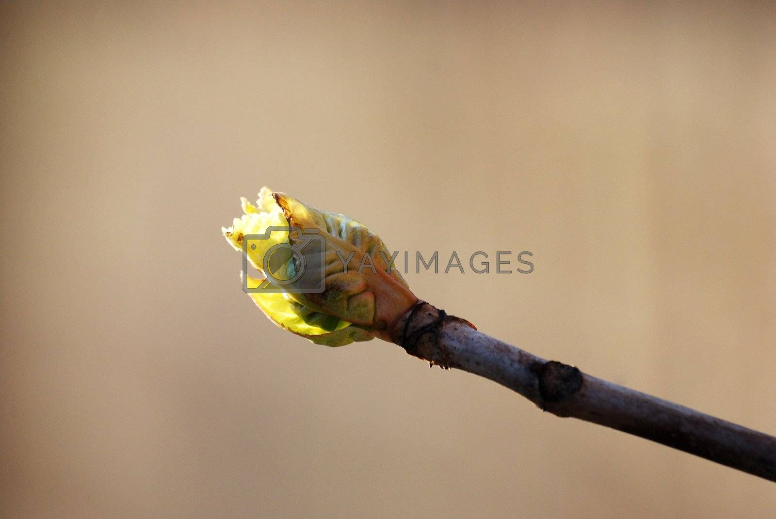 spring green bud on the top of the branch