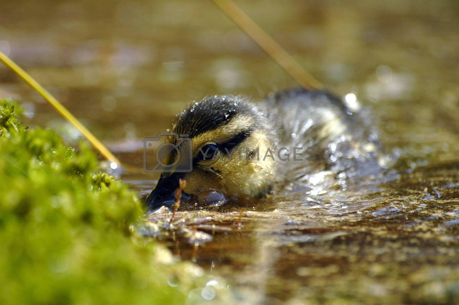 feeding duckling at the lake, horizontally framed shot