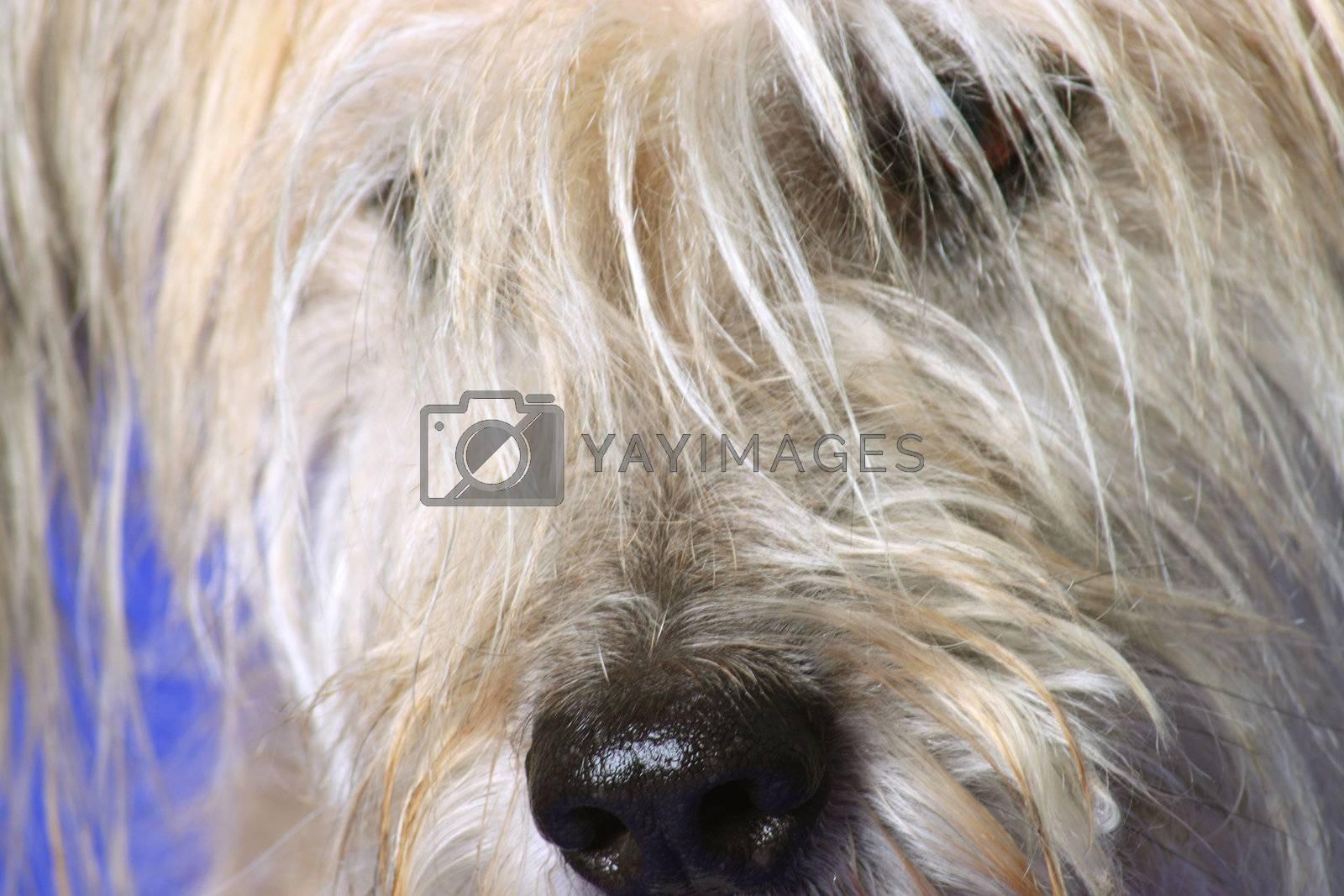 Fluffy Gos datura dog on blue  background