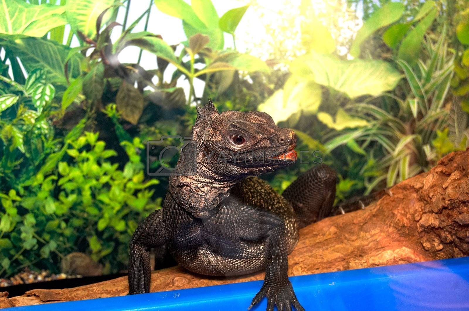 The big black lizard with pink lips sits in a terrarium