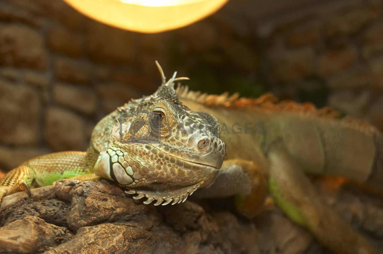 The big lizard in a terrarium is heated under a lamp