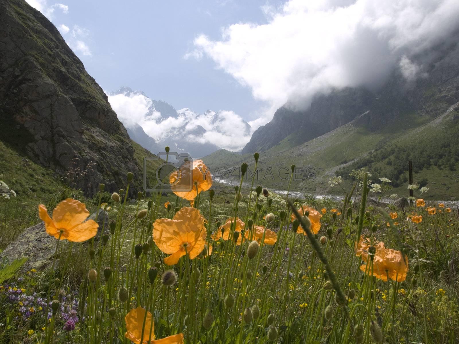 Mountains and flowers. Caucasus. Kabardino-Balkariya. Bezengi.