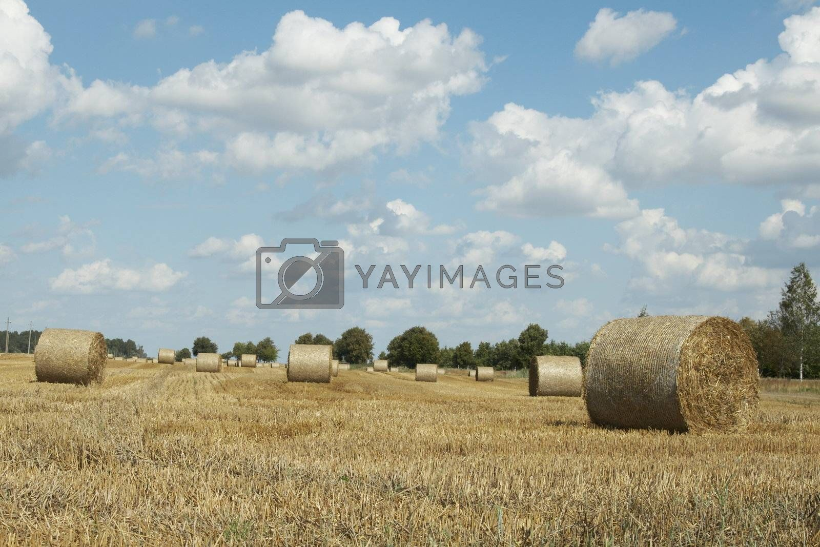 Haycocks on the wheat field in last august day