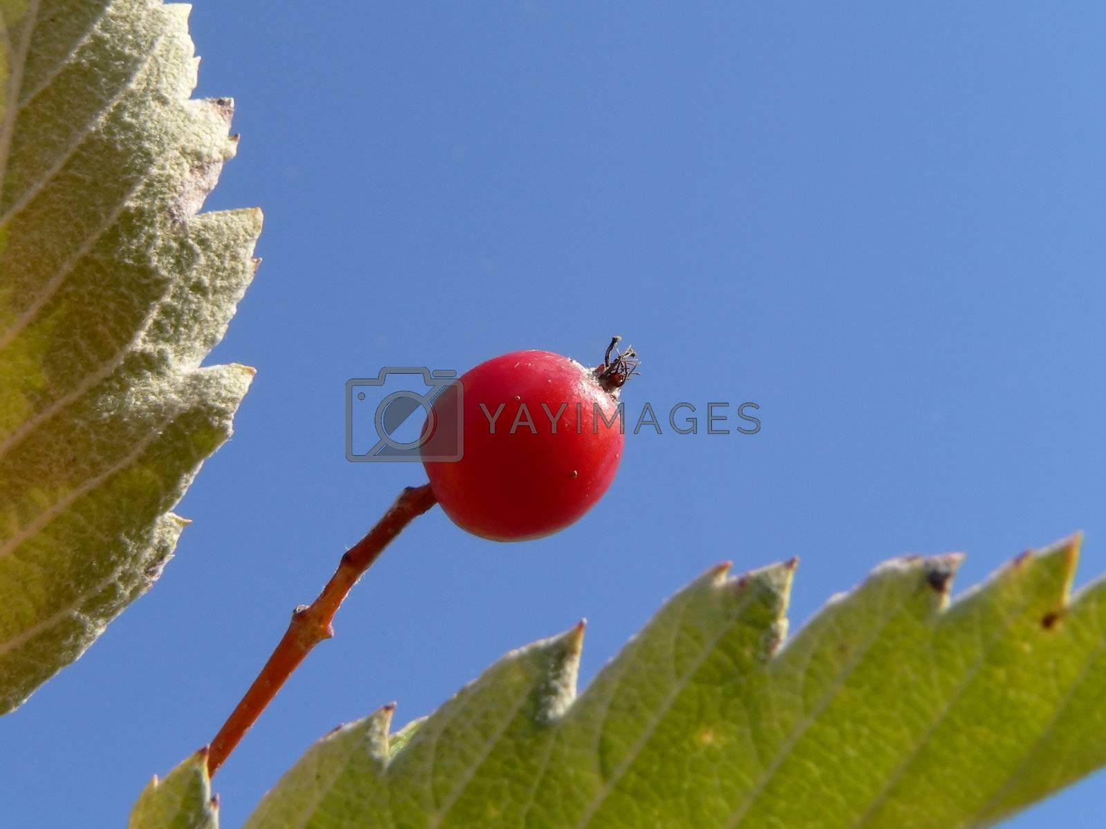 Autumn berry 2 by ichip