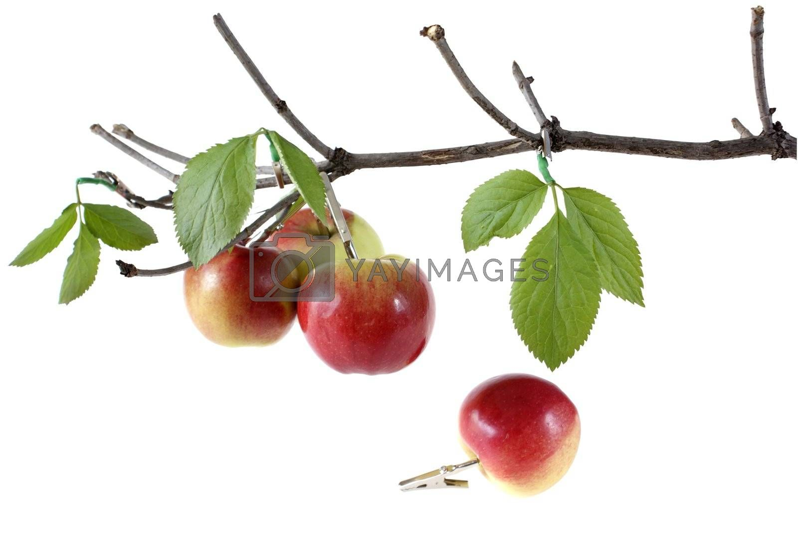ripe apples are suspended on hive isolated on white background