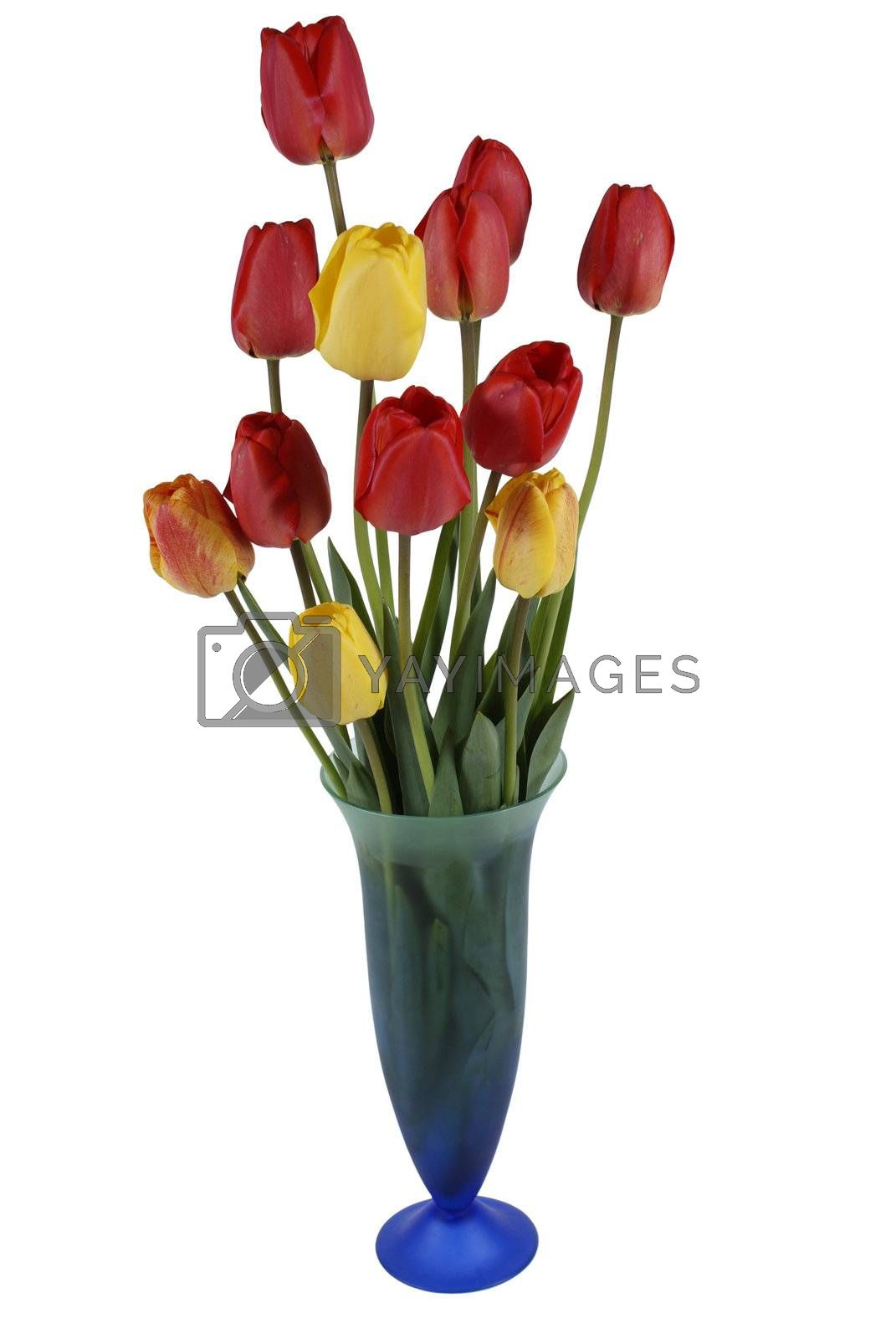 red and yellow tulip in flowerpot isolated on white background