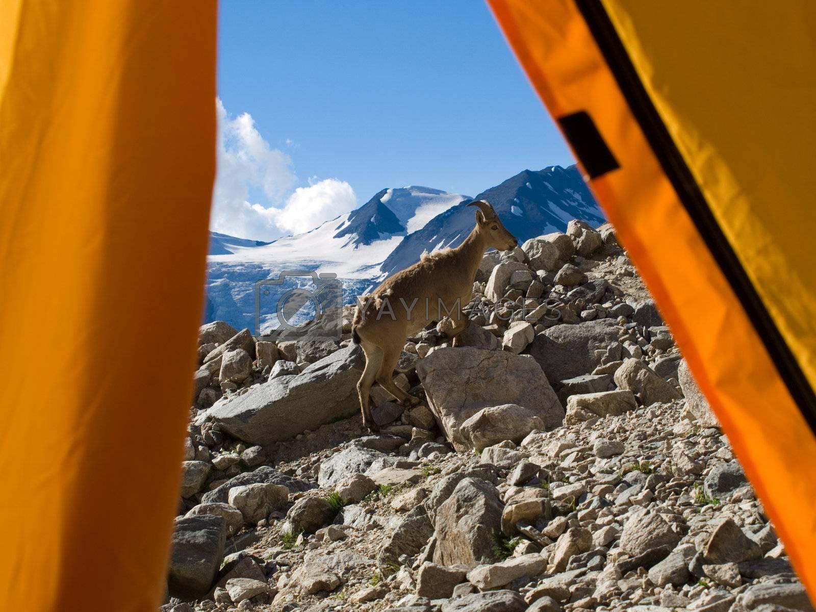 Mountains. Caucasus. Bezengi. Mountain goat