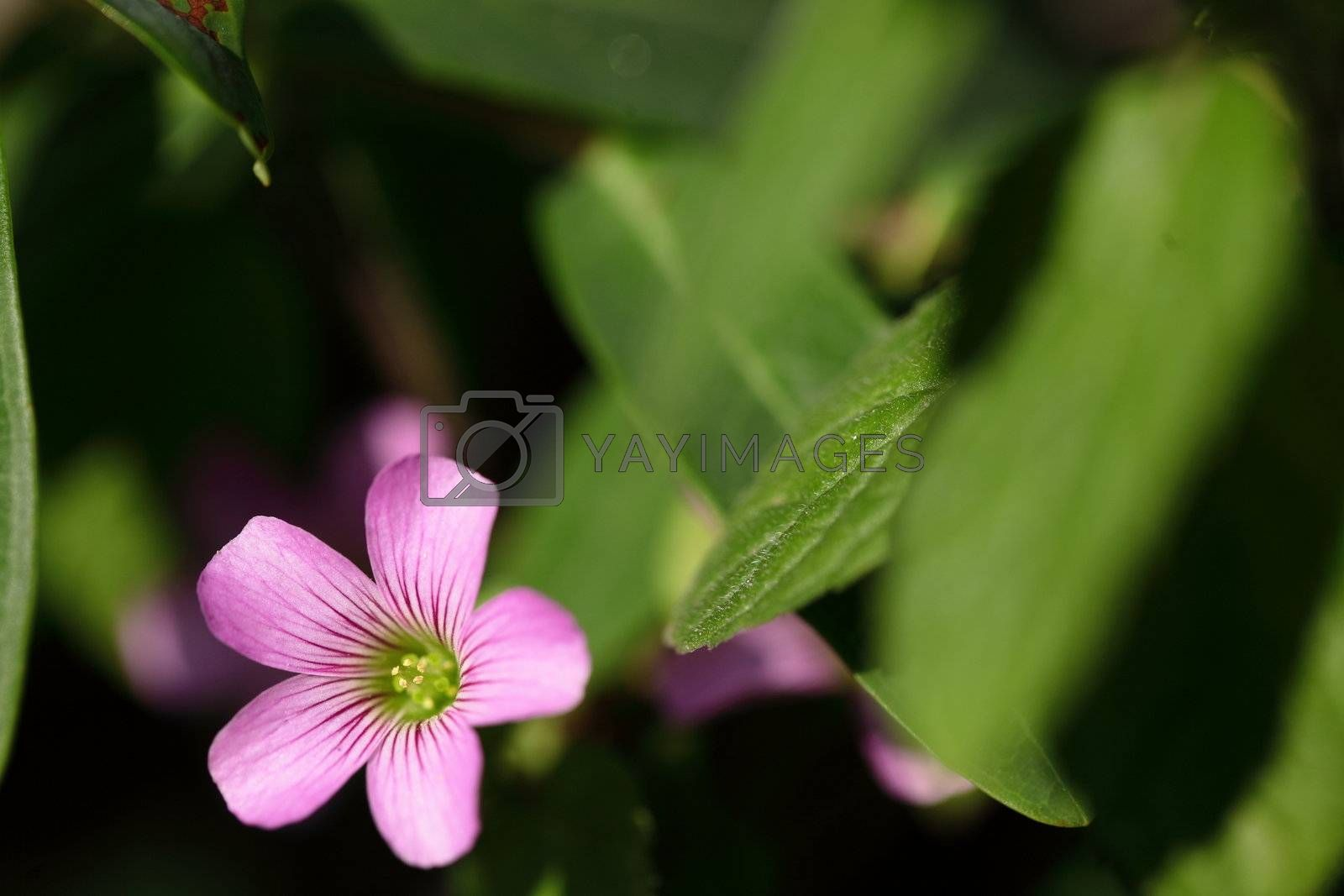 Royalty free image of flower by leungchopan