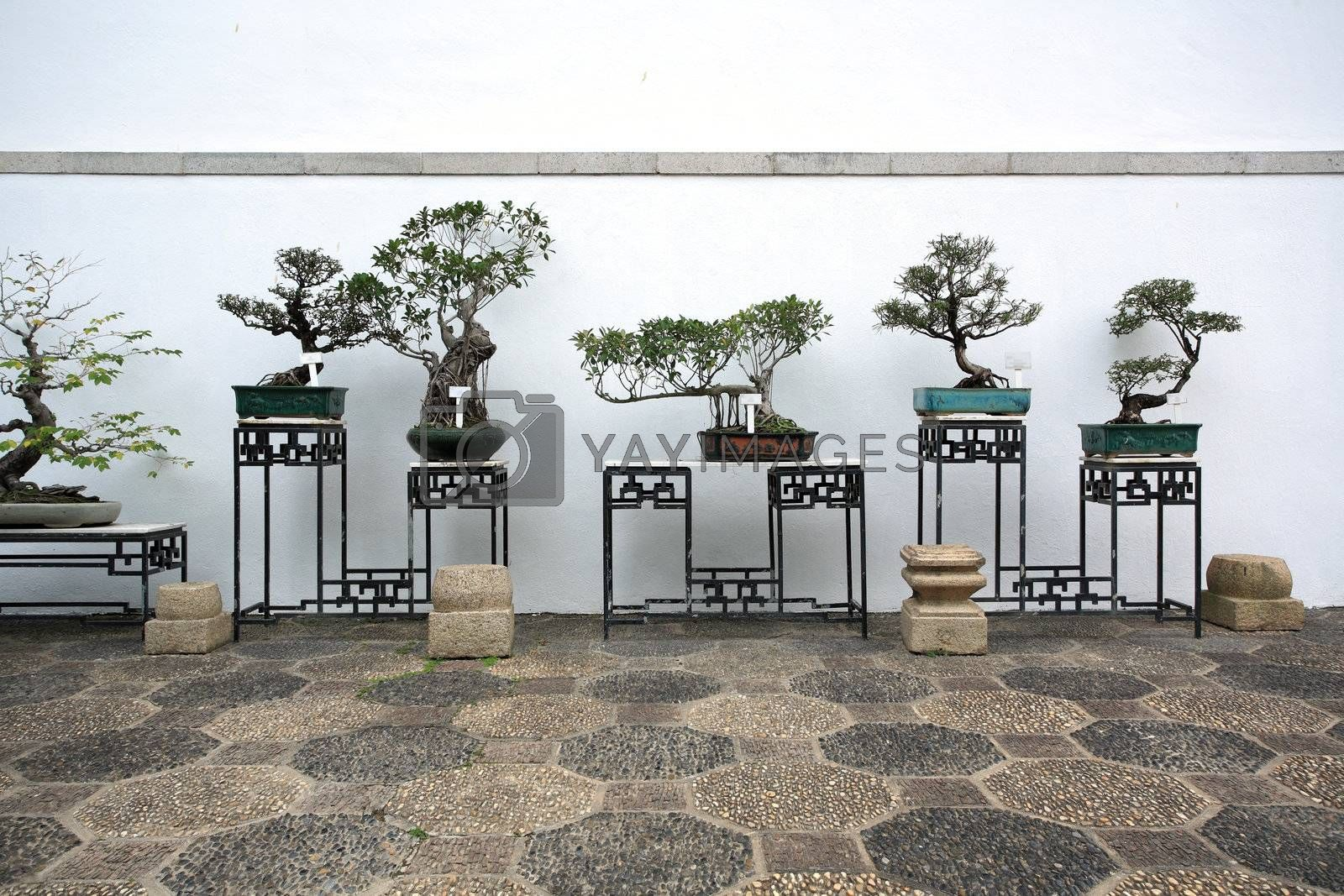 Royalty free image of bonsai in a chinese style garden by leungchopan