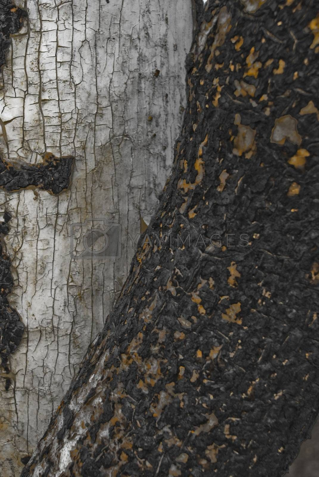 Royalty free image of Burnt Trunk by omairkha