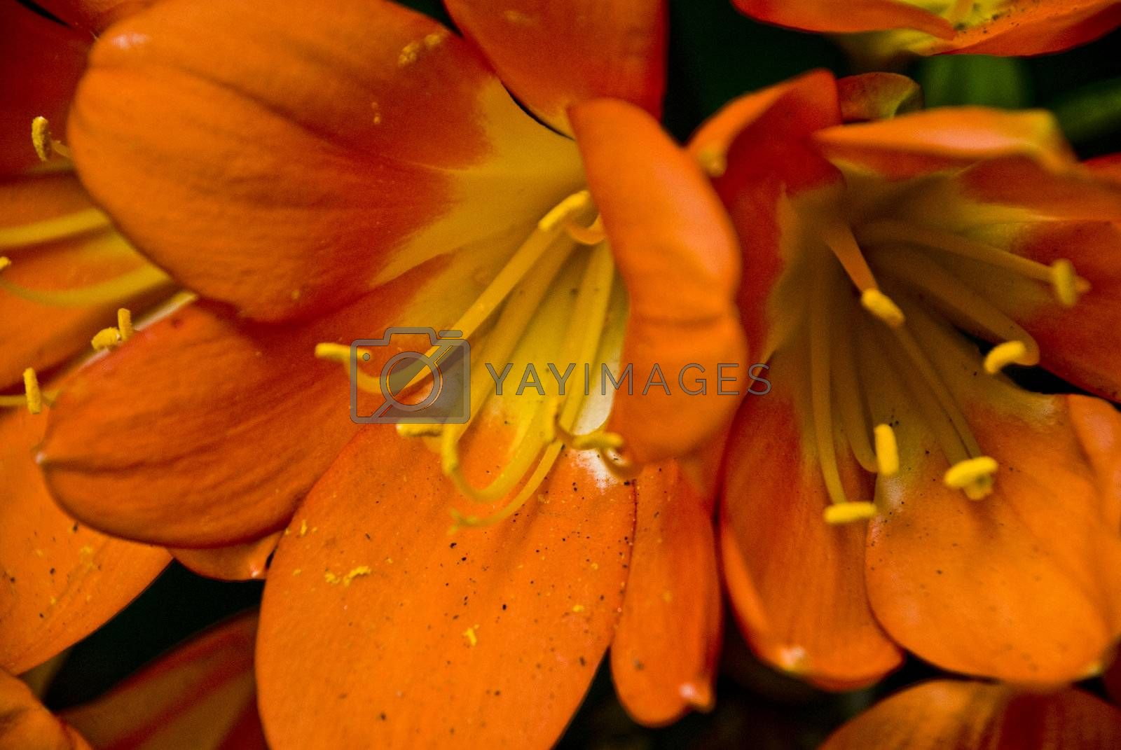 Royalty free image of Orange Clivias by omairkha