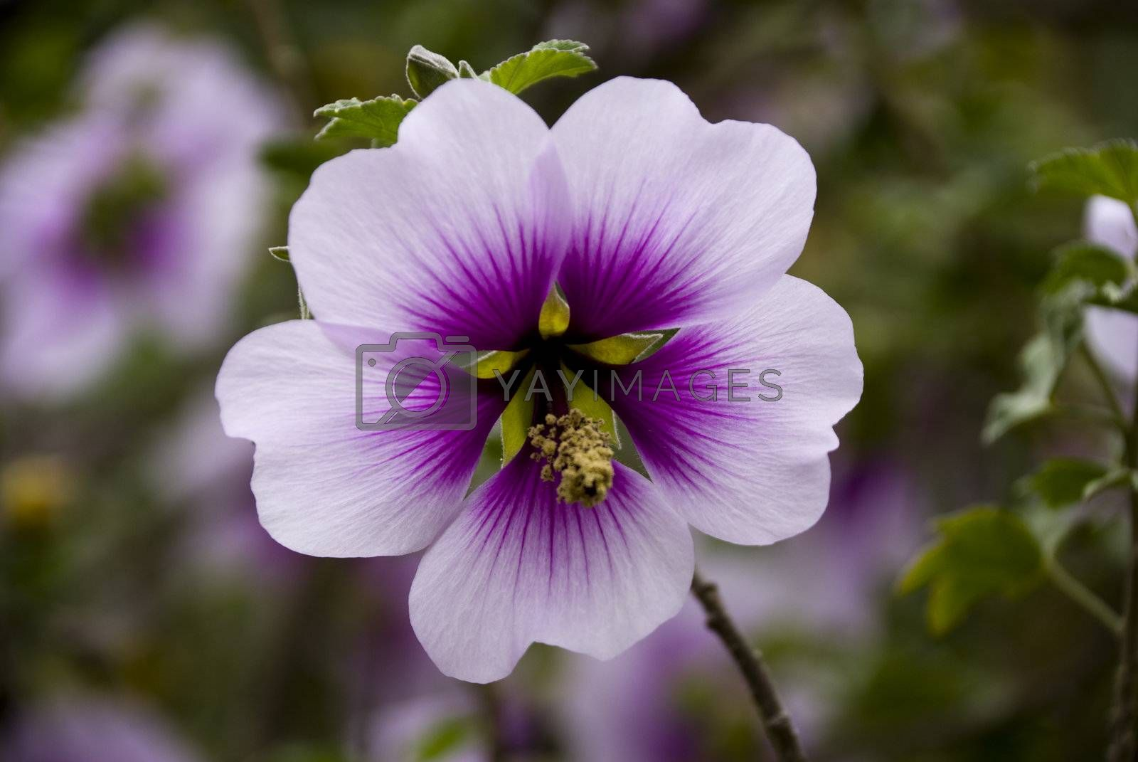 Royalty free image of Purple by omairkha